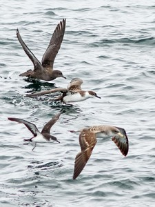 4 Species of Shearwaters