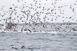 Seabirds & Fishing Boat off Chatham