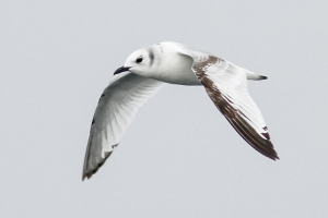 Black-legged Kittiwake - 10/30/13