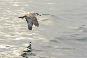 Great Shearwater - 8/3/12