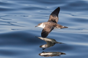 Great Shearwater - 10/9/11