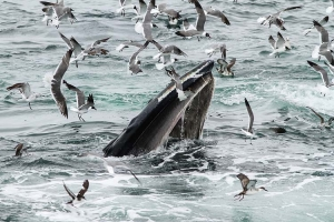 Feeding Humpback w/seabirds