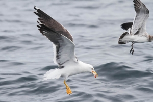 Lesser Black-backed Gull - 10/1/11