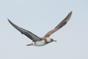 Long-tailed Jaeger - 8/19/12