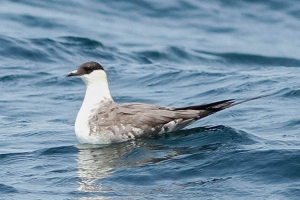 Long-tailed Jaeger - 6/23/13