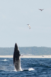 Breeching Minke Whale
