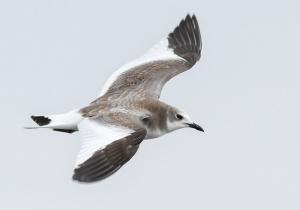 Sabine's Gull - 10/30/13