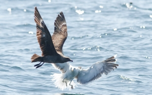 South Polar Skua - 7/5/13