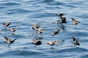 Wilson's Storm-Petrels feeding flock